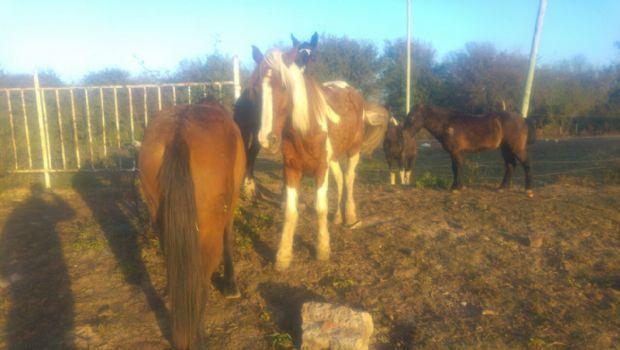 Recuperan caballos robados en La Calera