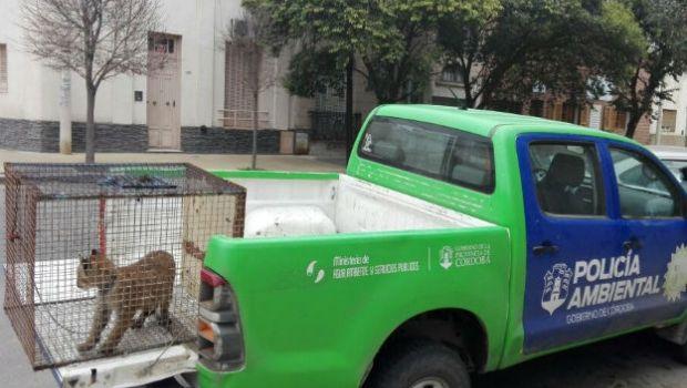 Policía Ambiental rescató a un puma en Jesús María